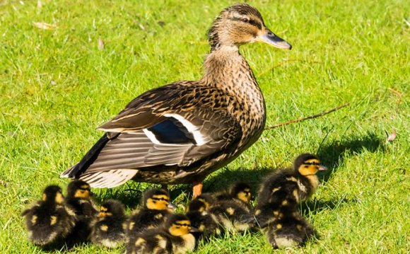 Ducklings in a Ripon garden