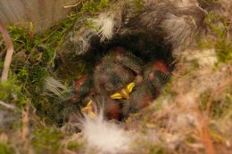 Blue tit chicks in one of the new bird nest boxes (photo courtesy of Andrew R Marshall)