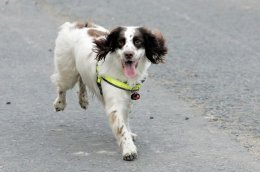 Spencer, the springer spaniel from North East Fire and Rescue Service