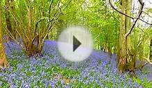 Bluebell woods in The Dales, northern England