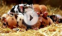 Dale House Farm Kunekune Pigs | Kunekune Pigs for Sale in